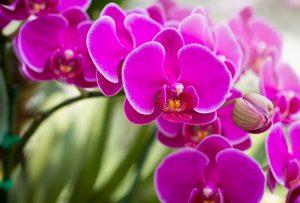 Cum ingrijim orhideea